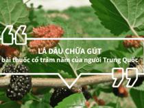 Chữa gút hiệu quả từ cây dâu tằm của người Trung Quốc
